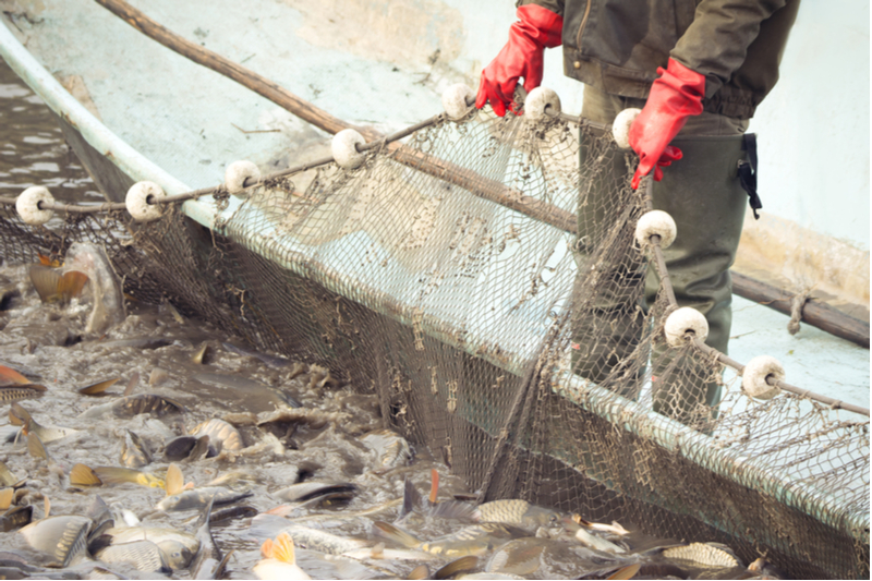 Overfishing is one culprit, but climate change also is a problem.